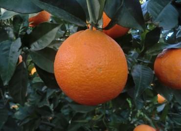 Naranja Navelina ecológica