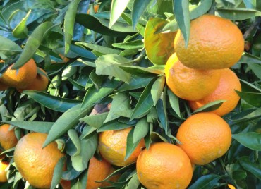 Mandarinas Clementinas Nules ecológicas