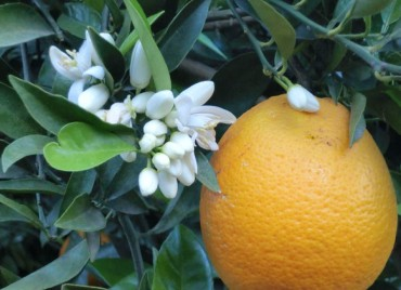 Naranja Navelate ecológica