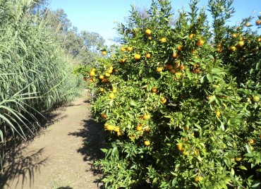 Mandarinas Nules ecológicas junto al río Ebro