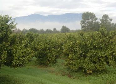 Naranjos bajo el puerto Tortosa-Beceite