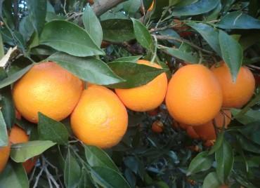 Naranjas Navelinas ecológicas