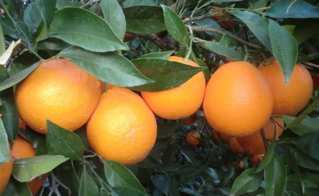 Naranjas Navelina ecológicas