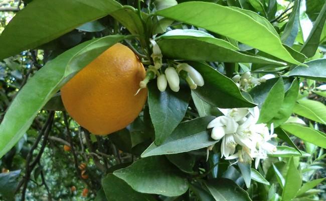 el-fruto-frutos-naranjo-y-flor