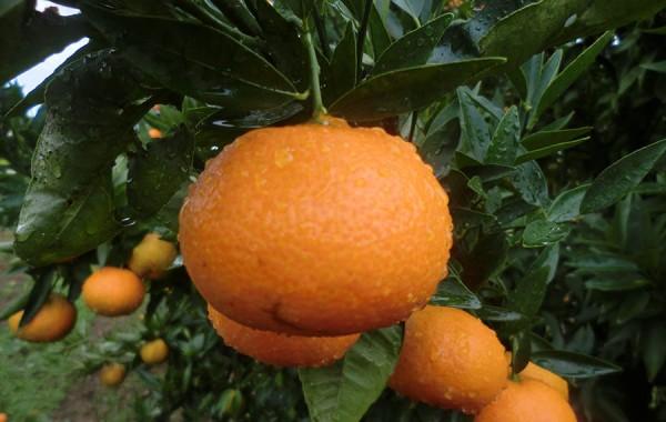 Mandarina Clementina ecológica