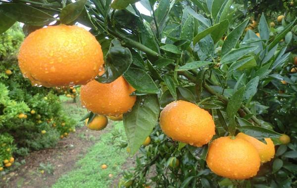 Mandarinas Clementinas ecológicas