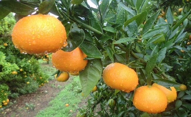 el-fruto-mandarinas-ecologicas-arbol