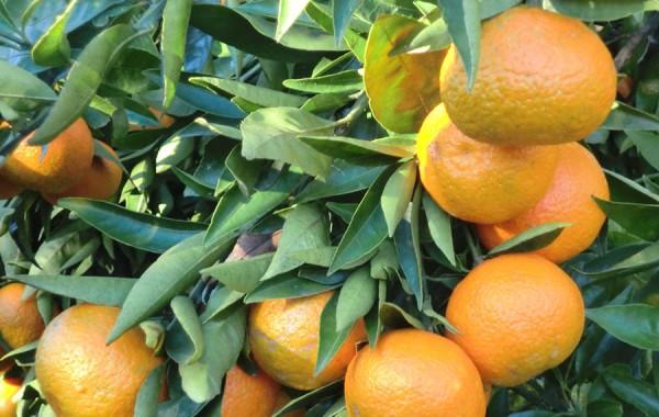 Mandarinenclementine ökologischer Nules