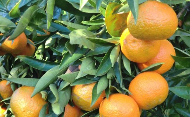 el-fruto-mandarinas-frescas-arbol