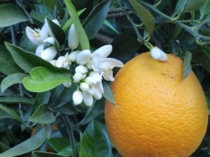 Naranja acompañada de flor