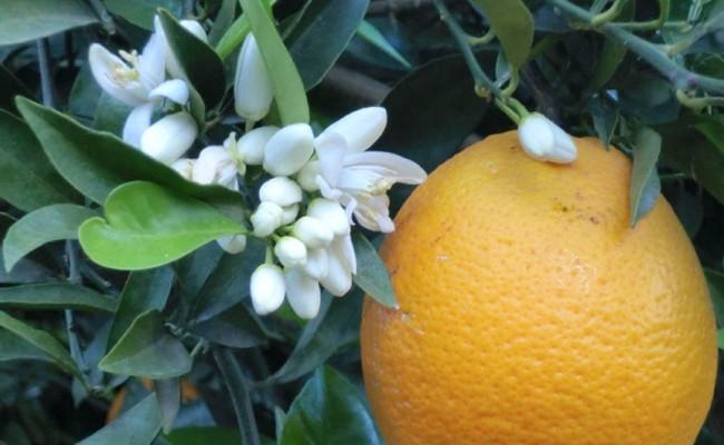el-fruto-naranjas-arbol-con-flor