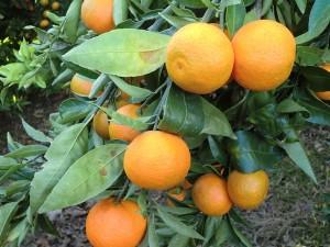 Naranjas frescas en el árbol