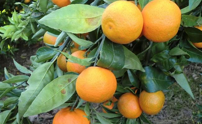 el-fruto-naranjas-frescas-arbol