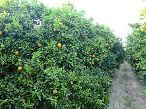 Campo naranjos