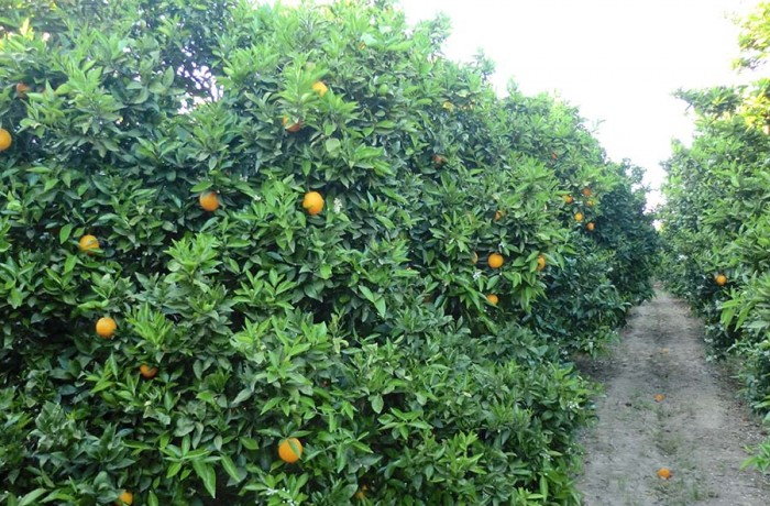 Árboles de naranjas Navelates ecológicas