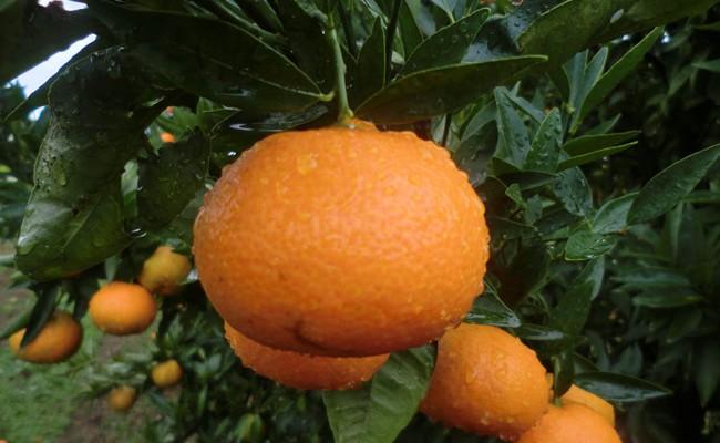 el-fruto-mandarinas-arbol