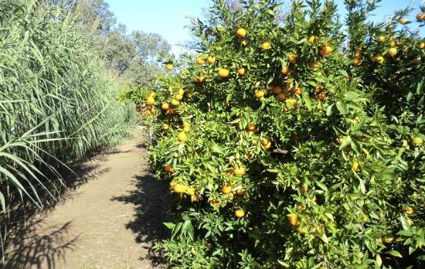 Mandarina Clementina Nules ecológica