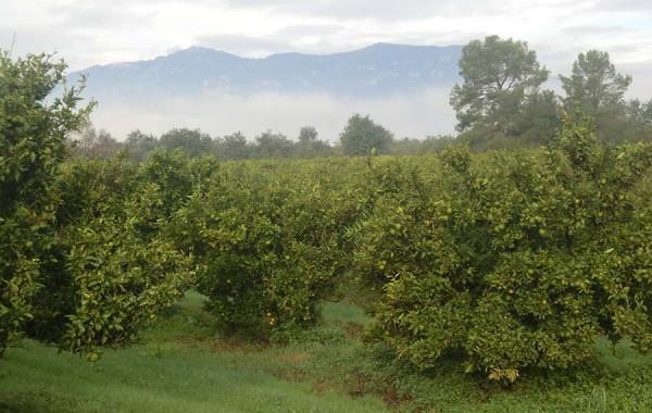 Orangenbäume unter den Bergen