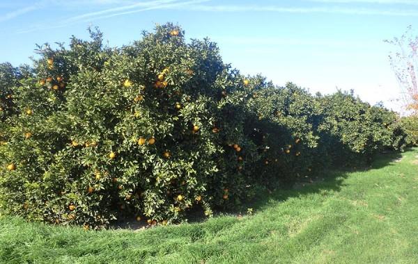 Bäume der Orangen ökologischer Navelates
