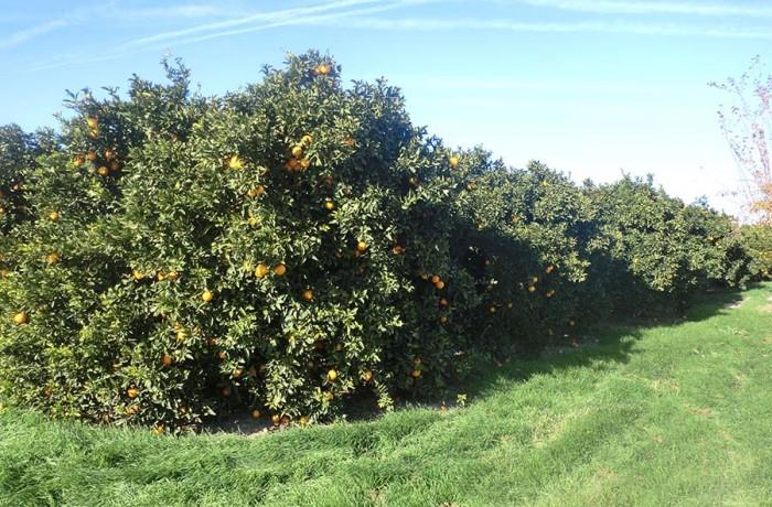 Oranges Navelates biologique