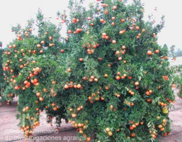 clementina-marisol-arbol